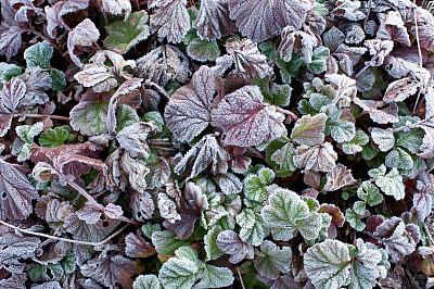 水杨梅属植物,叶子,冻结的,枯萎的,干花,褐色,水平画幅,无人,草坪,户外
