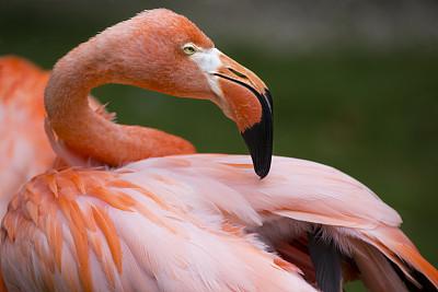 侧面像,火烈鸟,四处看看,热带鸟,留白,水平画幅,无人,鸟类,一只动物,彩色图片