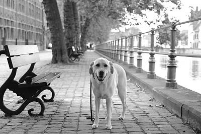 拉布拉多犬,布鲁日,寻回犬,水平画幅,注视镜头,运河,欧洲,肖像,单色调,栏杆