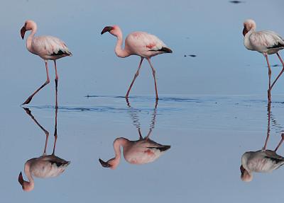 小火烈鸟,沃尔维斯湾,纳米比亚,野生动物,水平画幅,无人,鸟类,观鸟,泻湖,海洋
