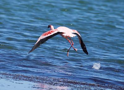小火烈鸟,沃尔维斯湾,纳米比亚,野生动物,水平画幅,无人,鸟类,观鸟,海洋,自然美