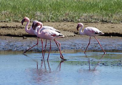 小火烈鸟,纳米比亚,野生动物,水平画幅,无人,鸟类,观鸟,野外动物,户外,湖