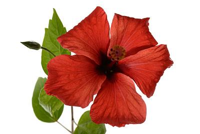 木槿属,红色,雌蕊,水平画幅,无人,夏天,特写,白色,植物