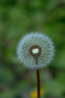 蒲公英,豆荚,自然,垂直画幅,无人,野生植物,特写,仅一朵花,植物茎,植物生长阶段