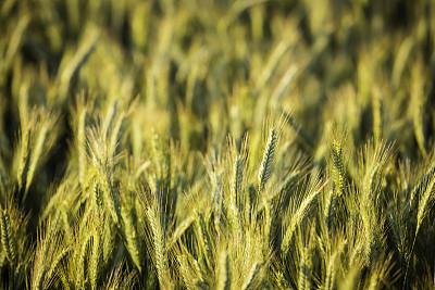 谷类,金色,田地,钟面,农业,自然,清新,小麦,图像,稻草