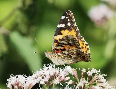 苎胥蝶,动物迁徙,选择对焦,褐色,水平画幅,蝴蝶,无人,夏天,户外,特写