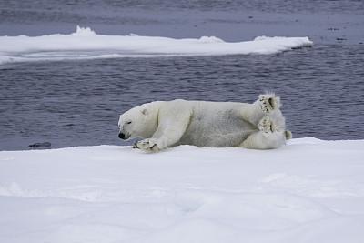 浮冰,北极熊,斯匹兹卑尔根,斯瓦尔巴德群岛,北冰洋,自然,野生动物,水平画幅,地形,嬉戏的