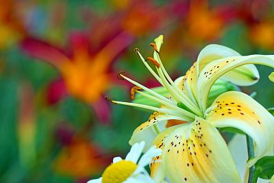 萱草,百合花,高对比度,开花时间间隔,自然,水平画幅,橙色,无人,夏天,特写