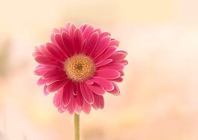 仅一朵花,自然美,非洲雏菊,芳香的,早晨,纯净,夏天,图像,完美,明亮