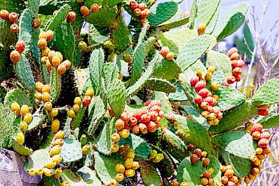 仙人掌,多刺疏林,热带灌木,自然,水平画幅,绿色,水果,无人,荆棘,夏天