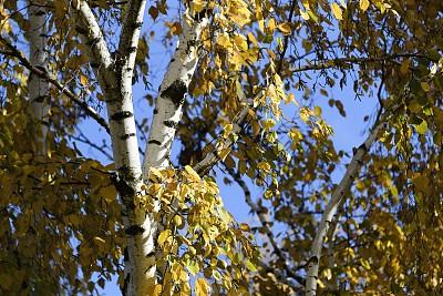 秋天,改换颜色,白桦,密歇根,自然,低视角,天空,美国,水平画幅,无人