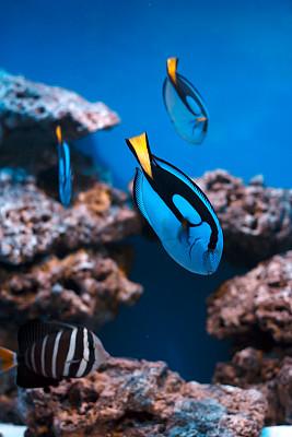 蓝刺尾鱼,热带鱼,水族馆,鱼缸,南太平洋,雀鲷,海藻灰,水肺潜水,垂直画幅,选择对焦