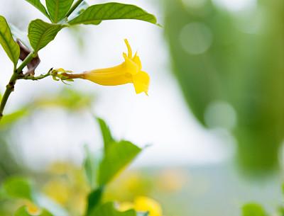 自然美,黄色,软枝黄蝉,毛莨科,色彩饱和,选择对焦,美,留白,芳香的,水平画幅