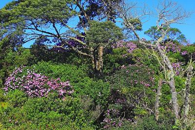 灌木,绿色,地形,巴塔哥尼亚,树林,野花,紫色,铁杉树,巴里洛切,非洲堇