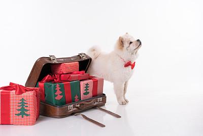 松狮,狗,小狗,圣诞礼物,宠物服装,腊肠犬,斯皮茨狗,水平画幅,进行中