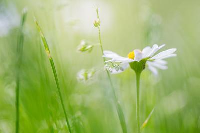 雏菊,野生植物,田地,露水,野花,芳香的,刀刃草,甘菊花,草,留白
