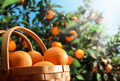 橙子,园林,桔树,地球女神,野餐篮,篮子,抗氧化物,选择对焦,阳光光束,水果