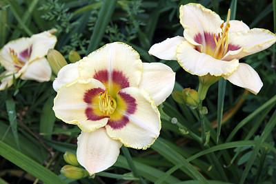 萱草,温带的花,水平画幅,无人,夏天,户外,百合花,花蕾,植物