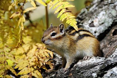 花栗鼠,树干,细条纹布料,脸颊,松鼠科,自然,褐色,野生动物,灰色,水平画幅
