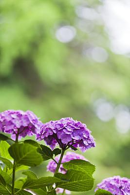 留白,紫色,八仙花属,垂直画幅,选择对焦,美,枝繁叶茂,无人,夏天,户外