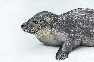 海豹,冰山,斑海豹,鳍脚亚目,冰川,南极洲,水栖哺乳动物,水,水平画幅,无人