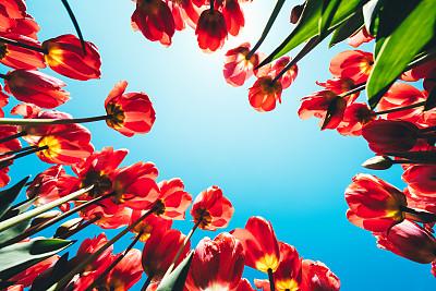 郁金香,正下方视角,红色,树园,独特视角,在下面,天空,美,留白,公园