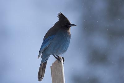 雪,斯特勒蓝鸦,华盛顿州,自然,寒冷,野生动物,水平画幅,蓝色,鸟类,动物身体部位