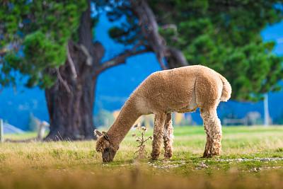 羊驼,新西兰南岛,白色,小羊驼,韦斯特兰,茶花,新西兰北岛,动物发育阶段,水平画幅,家畜