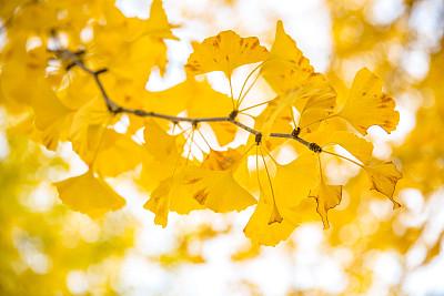 银杏树,秋天,立川,星和园,旅途,公园,色彩鲜艳,园林,户外,晴朗