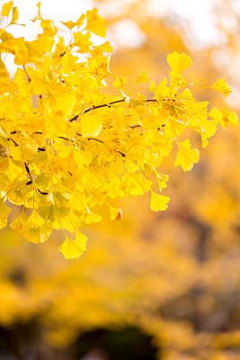 银杏树,秋天,立川,旅途,公园,色彩鲜艳,园林,户外,晴朗,日本