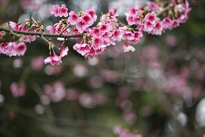 樱花,留白,水平画幅,无人,户外,特写,白色,枝,植物学,园林