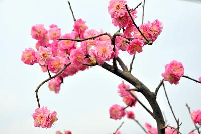 樱桃树,美,留白,里山,水平画幅,樱花,樱桃,无人,户外,开花时间间隔