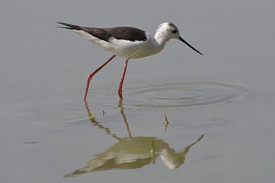 黑翅长脚鹬,池塘生物,水平画幅,无人,鸟类,意大利,沼泽,涉水,摄影