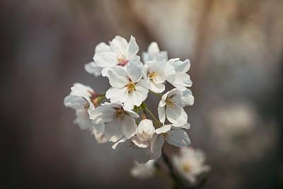 樱花,樱之花,梅花,花序,亚洲樱桃树,仅一朵花,清新,彩色背景,简单,自然美