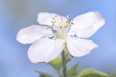 花头,苹果,苹果花,豆荚,春季系列,天空,水平画幅,无人,现代,白色