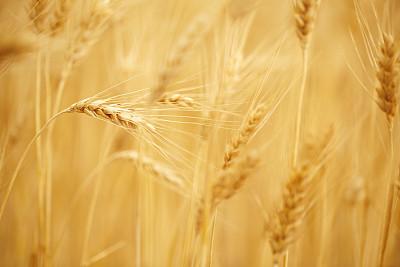 黄金,人的耳朵,小麦,留白,水平画幅,夏天,户外,特写,面包,农作物