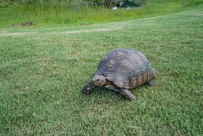 龜,草,園林,南非文明,綠色,水平畫幅,無人,偏遠的,戶外,西開普省