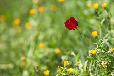 红色,绿色背景,运动模糊,仅一朵花,自然,图像聚焦技术,选择对焦,留白,水平画幅,绿色