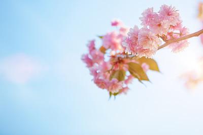 樱桃树,樱之花,公园,水平画幅,枝繁叶茂,樱花,无人,户外,植物
