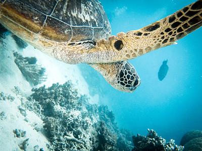 海龜,大堡礁,礁石,旅游目的地,水平畫幅,水肺潛水,澳大拉西亞,水下,野外動物,海洋生命