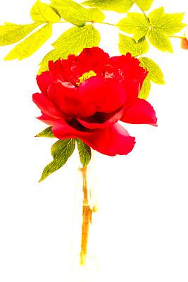 牡丹,花头,亮色调,雄蕊,多年生植物,自然,黄色,红色,垂直画幅,图像