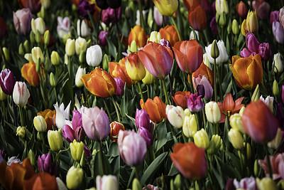 郁金香,色彩鲜艳,库肯霍夫花园,花鳞茎,植物园,公园,水平画幅,无人,夏天,特写