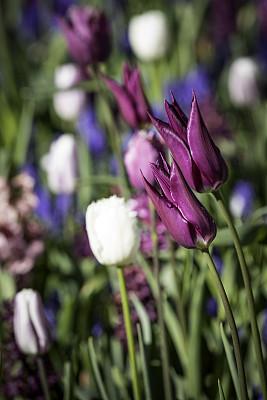 郁金香,色彩鲜艳,库肯霍夫花园,花鳞茎,植物园,垂直画幅,公园,无人,特写,明亮