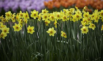 水仙花,黄色水仙,花鳞茎,植物园,明亮,植物学,清新,花头,非都市风光