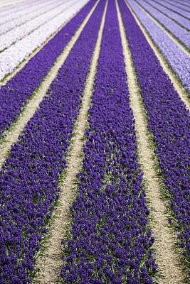 风信子,色彩鲜艳,葡萄风信子,红葡萄,花鳞茎,植物园,垂直画幅,公园,芳香的,无人