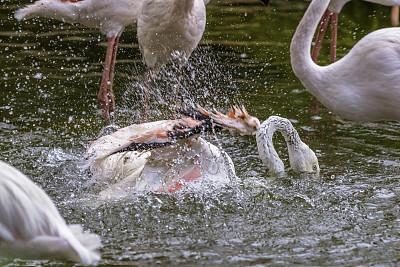 火烈鸟,浴盆,水平画幅,鸟类,飞溅的水滴,翎毛,南非,摄影,游泳,洗澡