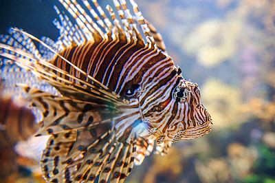 蓑鲉,特寫,魚缸,水族館,自然,熱帶魚,水平畫幅,無人,水下,海洋生命