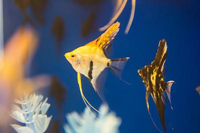脂鯉,鰭刺類魚,魚缸,水族館,裸鰓亞目動物,寵物商店,尾鰭,霓虹色,壁虎,金魚
