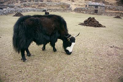牦牛,粪,粪肥堆,高地,坤布,珠穆朗玛峰,动物粪便,尼泊尔,喜马拉雅山脉,家牛