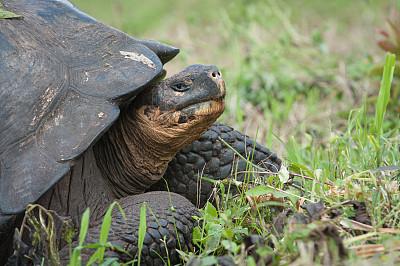 巨型龟,圣克鲁斯岛,加拉帕戈斯群岛,厄瓜多尔,人的头部,旅游目的地,水平画幅,无人,巨大的,动物身体部位
